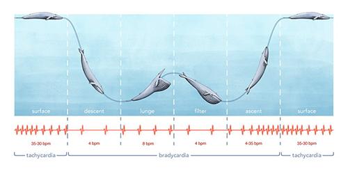 A bálna szívverése